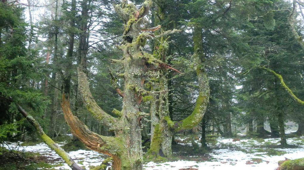 Les arbres présentent effectivement des formes atypiques. Ne serait-ce pas lié tout simplement aux puissants vents qui balayent le Schnneberg et qui qui cassent les cimes des arbres.....