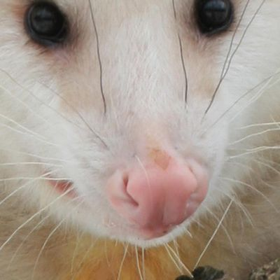 I Can Native Animal Rescue send somebody to eliminate an opossum living under my home?
