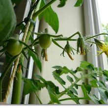 Fructification des tomates