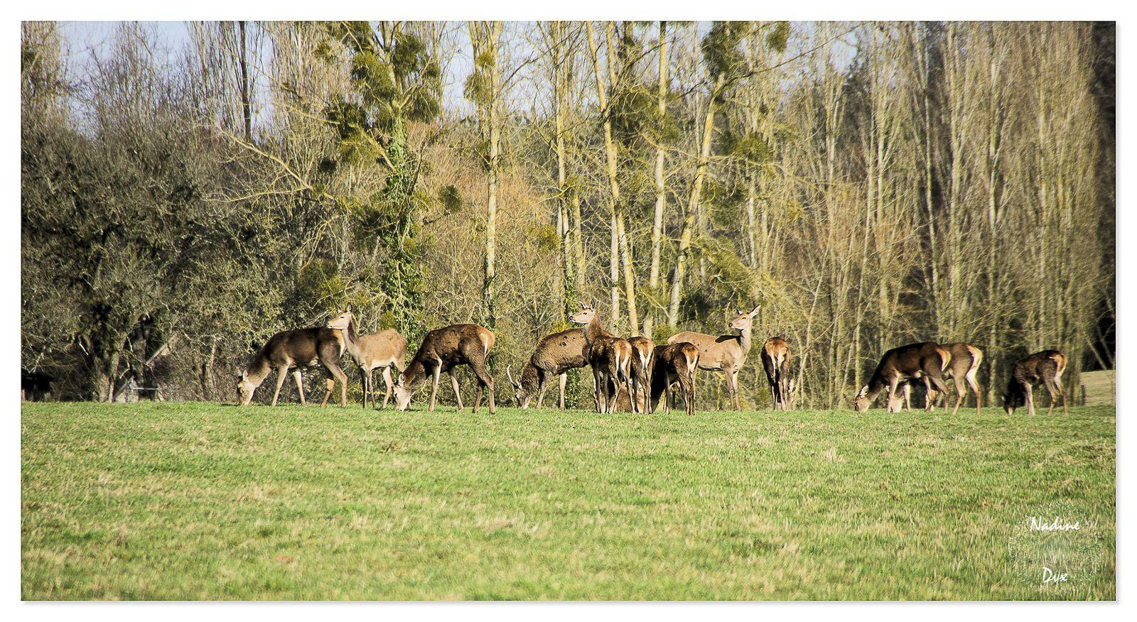 Cervidés forêt de Bercé -Sarthe