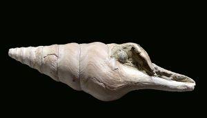 Clavatula (Perrona) semimarginata