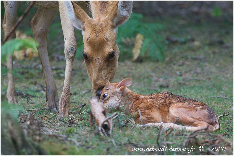 À la naissance, le pelage du faon apparaît très sombre, s'éclaircissant très vite à mesure que sa mère le lèche.