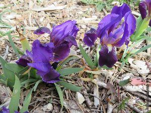 Quelques iris de la garrigue de toutes les couleurs