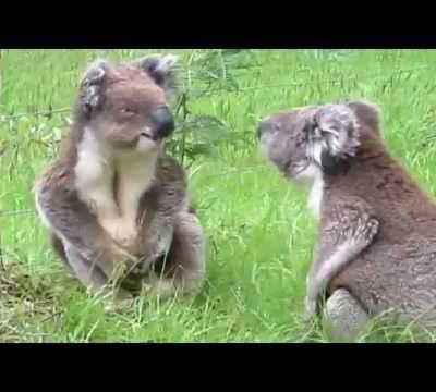 Bataille entre koalas.