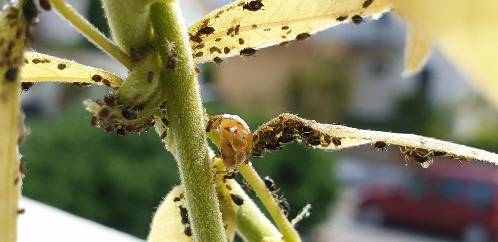 Pucerons et coccinelles sur glycine. Les pucerons produisent un miellat dont raffolent les abeilles, fourmis et autres insectes.