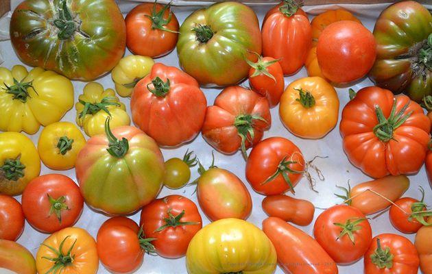 Au vu de la température (6° pour l'instant….), j'ai bien fait de récolter mes tomates (3 caisses quand même).