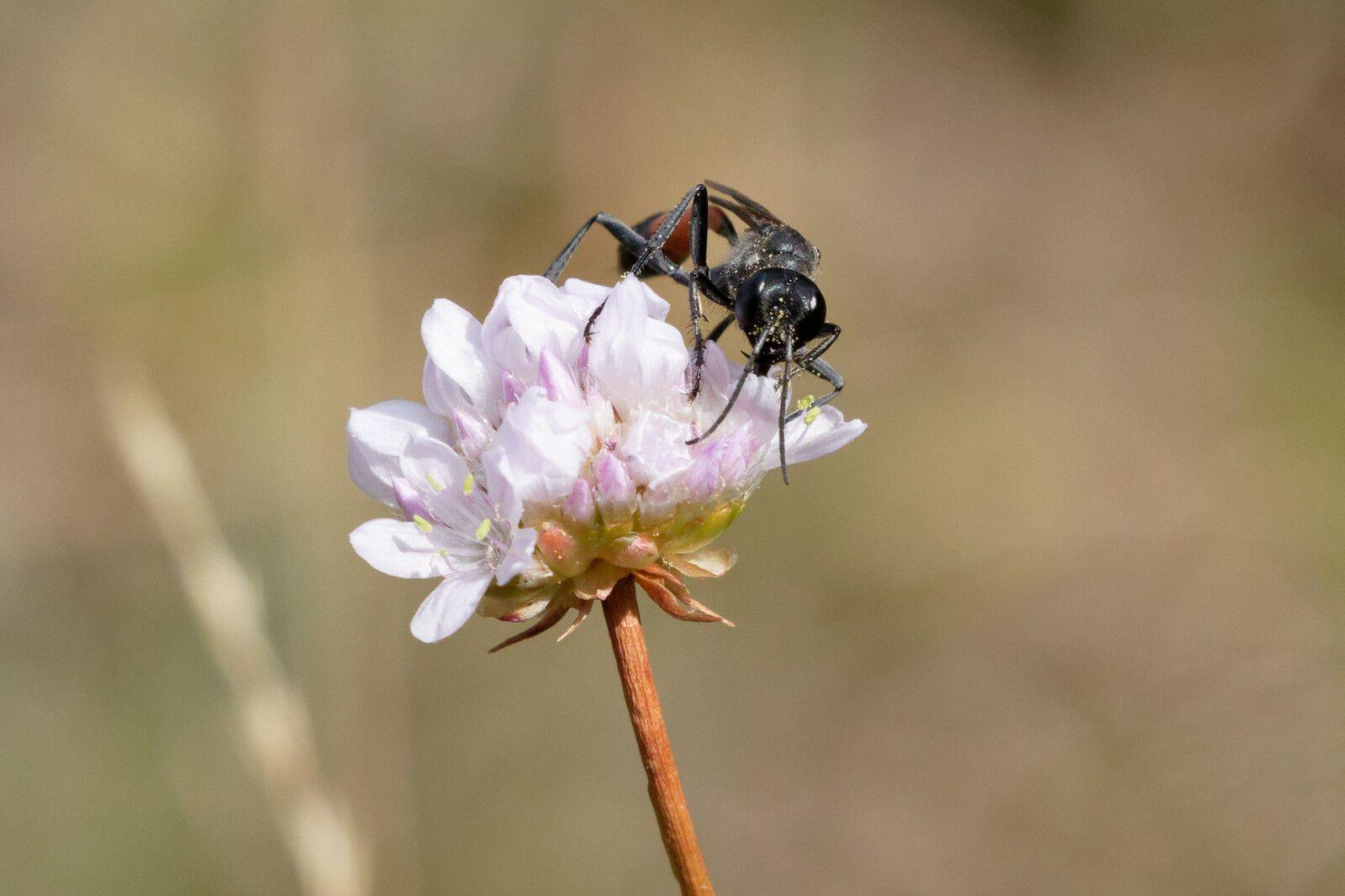 Ammophile des sables (Ammophila sabulosa)
