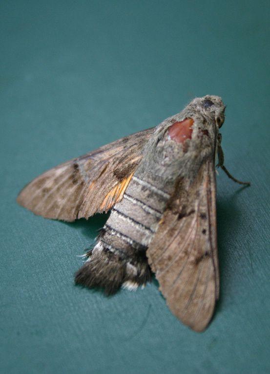 Plus de quarante espèces de papillons contactés sur le territoire de Mardié-est : Un festival de formes et de couleurs !