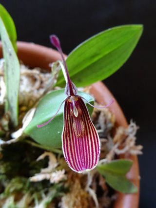 Restrepia Mary Smallman