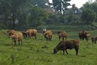 Aide de 60 Euros aux jeunes bovins : La Confédération paysanne attaquera le décret au conseil d'Etat
