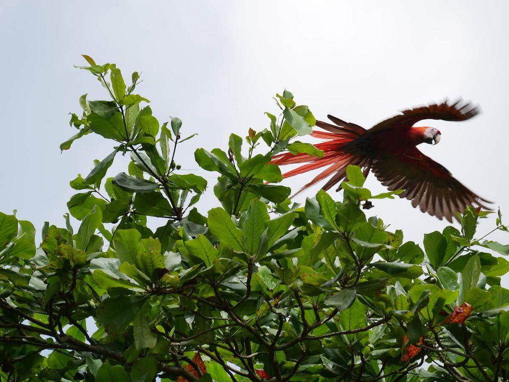Porto Jimenez, une impression de bout du monde, avec des singes capucins dans les arbres bor dant les plages. Le dimanche, les Ticos c'est-à-dire les Costaricains viennent bivouaquer sur les plages, avec coca, glacière et grillades. Du petit port de Porto Jimenez, on peut aller à Golfito, de l'autre côté de la baie, une jolie balade.