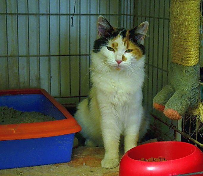 ADOPTEE  : GRETEL, jeune chatte tricolore de 8 mois