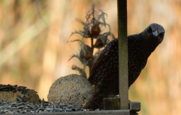 Nos oiseaux du jardin .... les Etourneaux-Sansonnets