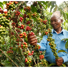 Des semences de la peur répandues en Ouganda alors que les agriculteurs confondent le caféier clonal avec le coronavirus