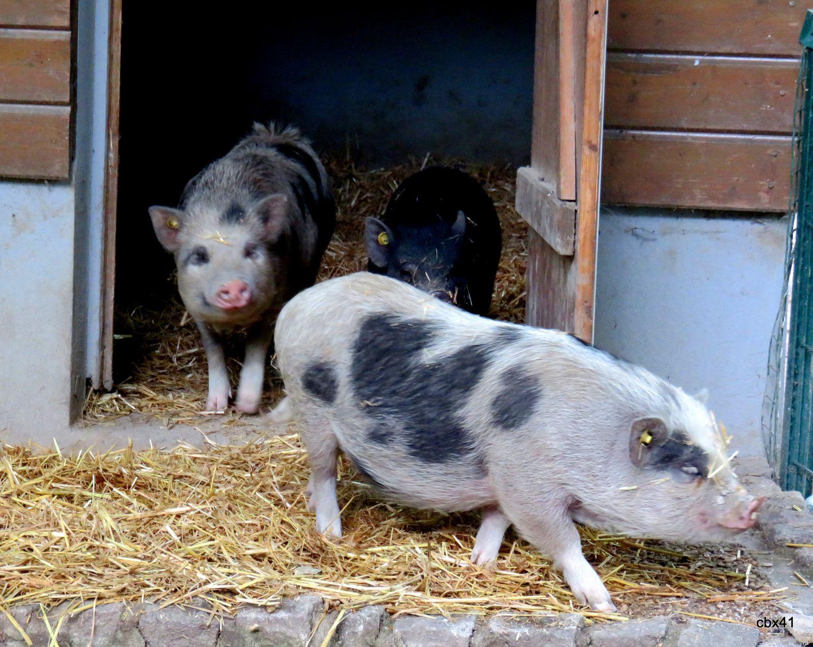 Les cochons nains de la mini-ferme du parc Corbière, Le Pecq (Yvelines)