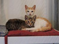 NOUGATINE DITE POUPOUILLE - femelle croisée chatte égyptienne - adoptée