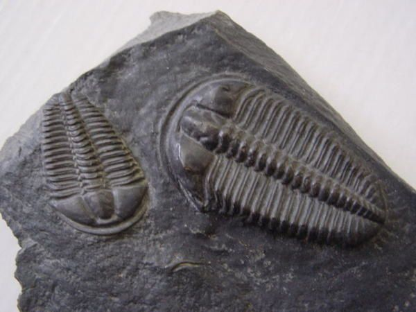 """<p>Les Arthropodes sont de très beaux fossiles très recherchés par les amateurs. </p> <p>Ils incluent les trilobites, crustacés, insectes, cirripèdes, et les ostracodes.</p> <p>Voici quelques pièces sélectionnées de ma collection privée.</p> <p>Bon amusement !</p> <p>Phil """"Fossil""""</p> <p></p>"""