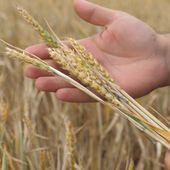 """Cel mai prost an din ultimul deceniu pentru recolta de grâu. Fermierii anunță scumpiri și cer ajutor de la stat: """"Noi tot cu ruga la Dumnezeu am rămas"""""""