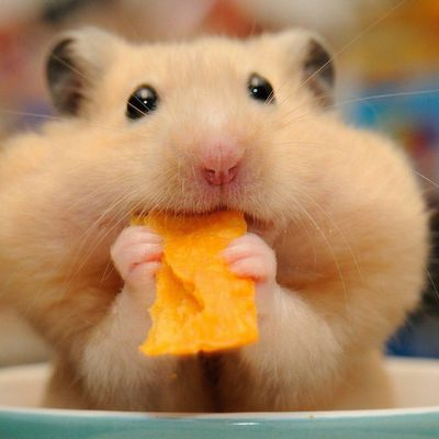 Animaux - Hamster - Nourriture - Cute - Photographie - Wallpaper - Free