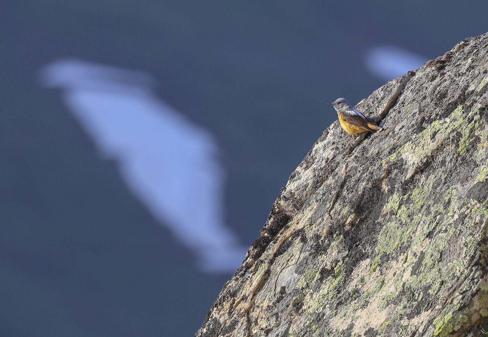 Le monticole de roche, mâle
