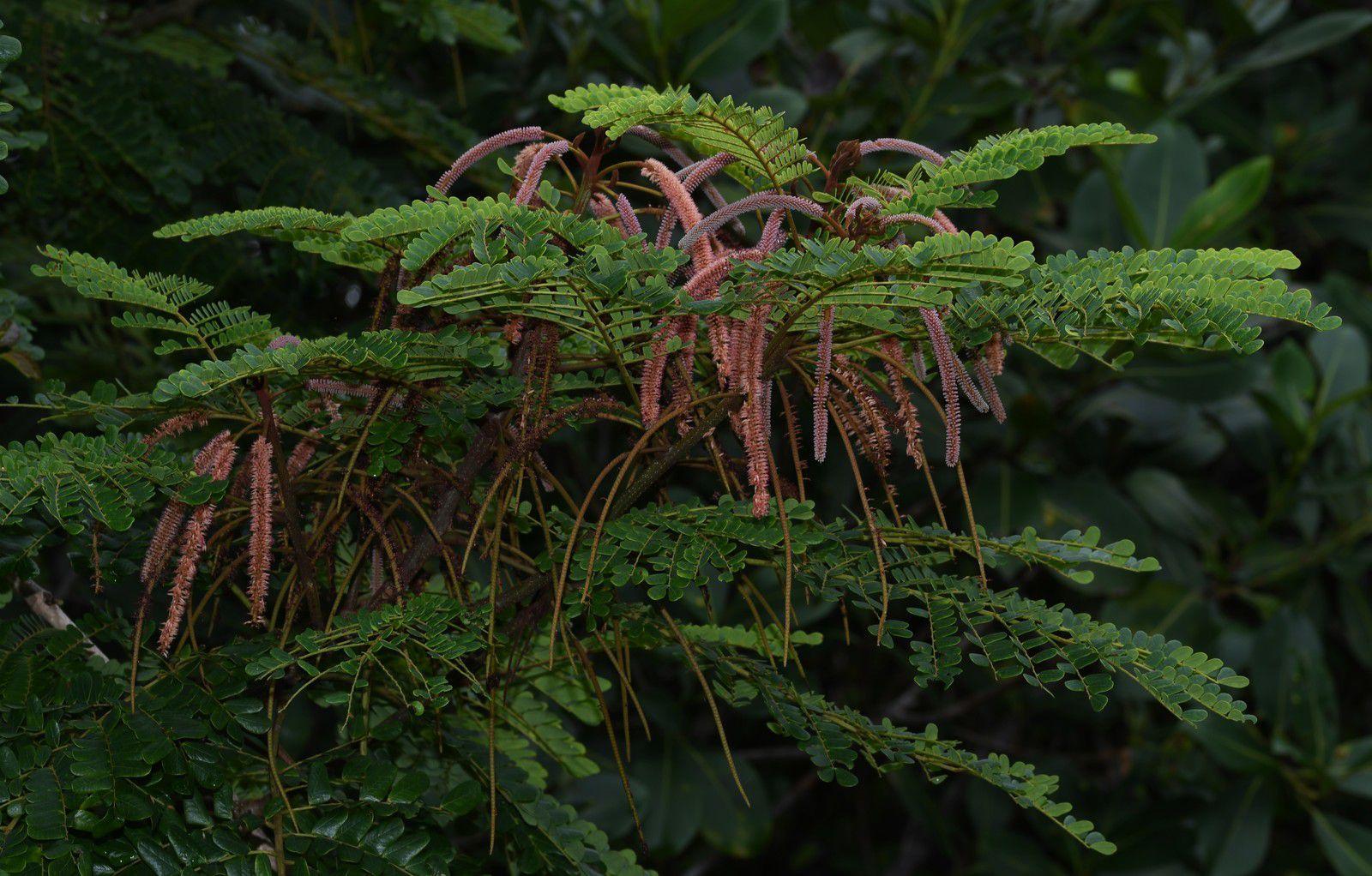 Stryphnodendron guianense