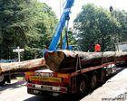 Les huit chênes de Bercé destinés à Notre Dame de Paris en route vers une scierie en Mayenne