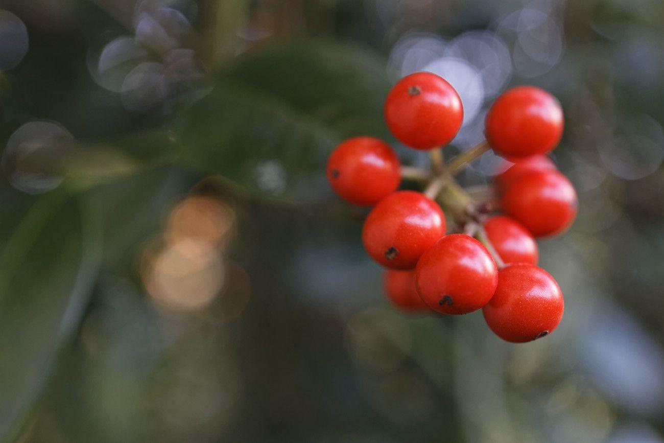 Iles aquifolium - houx
