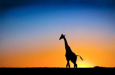 Animaux - Girafe - Afrique - Coucher de soleil - Silhouettes - Photographie - Wallpaper - Free