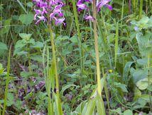 Orchidée Militaire (suite)