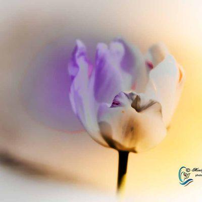 Tulipe aux couleurs pastel