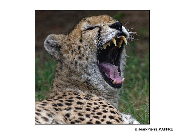 Il n'est pas poli de tirer la langue, sauf quand on est un félin.