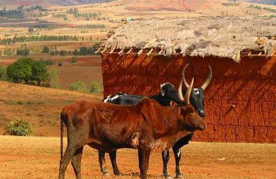 Découvrez le plus grand marché aux zébus de Madagascar !