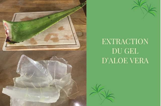 Extraction du gel d'aloe vera