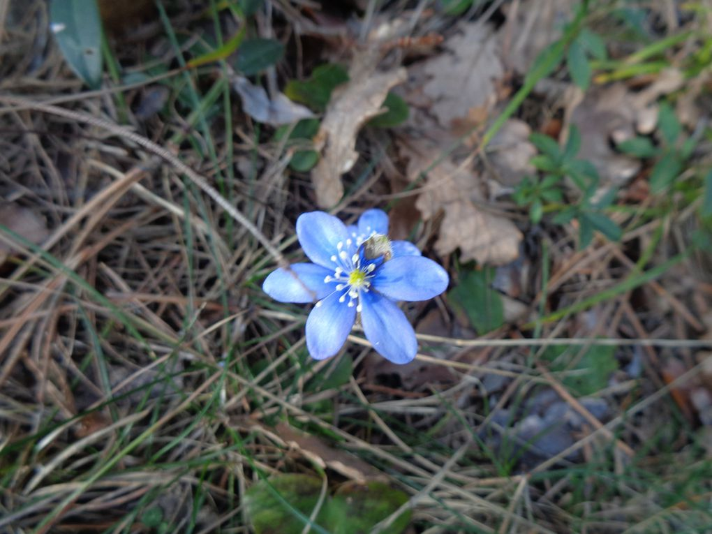 Hepatica nobilis - Anémone Hépatique