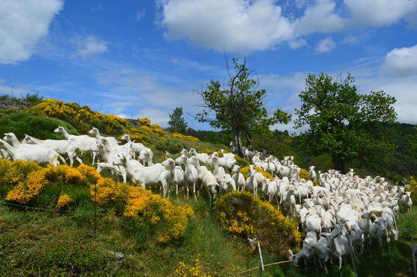 Les biquettes d'Ardèche vous attendent...