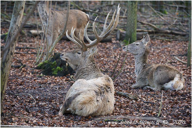 Le dimorphisme sexuel est très marqué chez le cerf de Bactriane. La femelle est nettement plus petite que mâle et ne porte pas de bois.