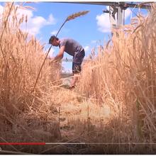 France 24: excellent «Réchauffement climatique : les agronomes français à la recherche du blé de l'espoir»