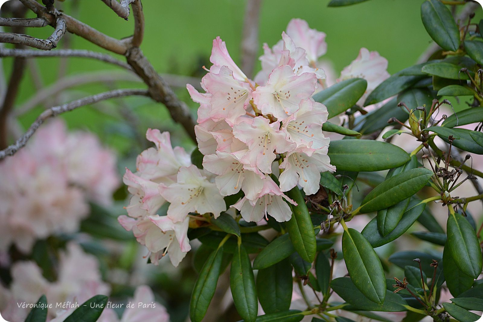 Rambouillet : Premiers Rhododendrons