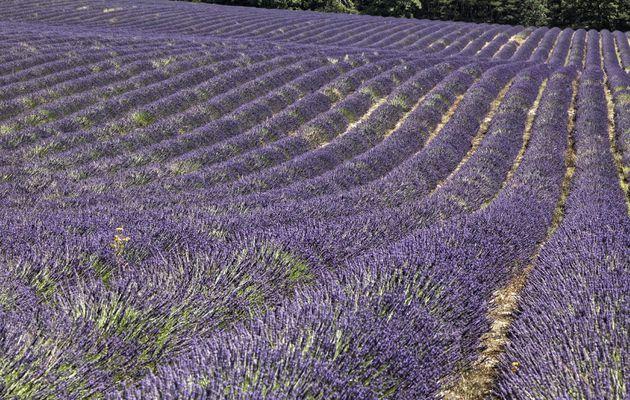 Valensole et la lavande - Haute-Provence