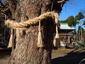 Ces arbres centenaires vénérés pour contenir la force de la nature entourés de cordes tressées me fascinent toujours