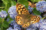 TIRCIS : papillon adapté à l'urbanisation.