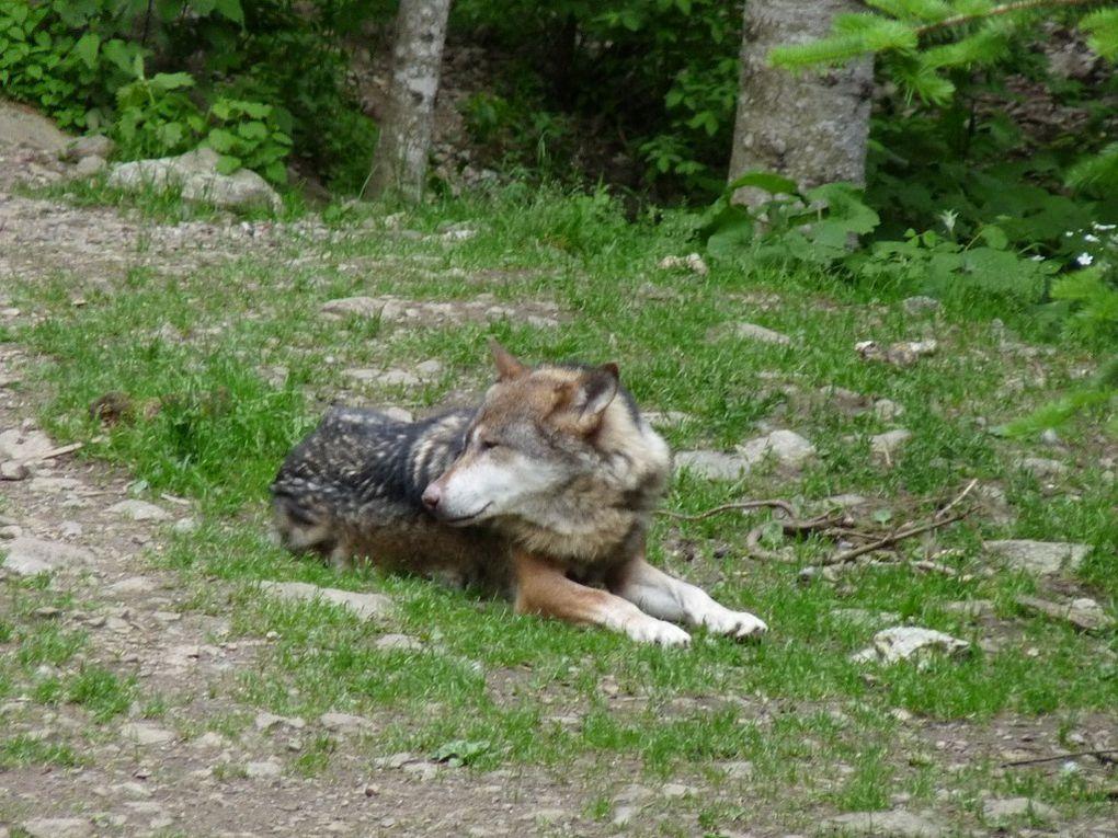 Les Loups au Parc Alpha (06)