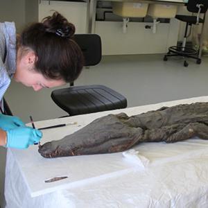 La momie crocodile du Louvre Lens