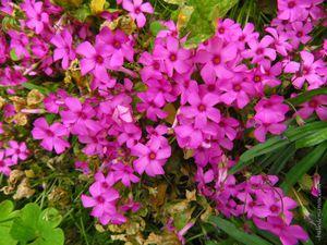 Clématite, fleur de ciboulette, oxalis rose et blanc, coquelourde et heuchère