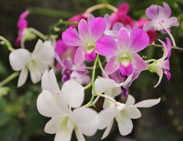 Orchidées au jardin de Peradeniya - Kandy - Sri Lanka