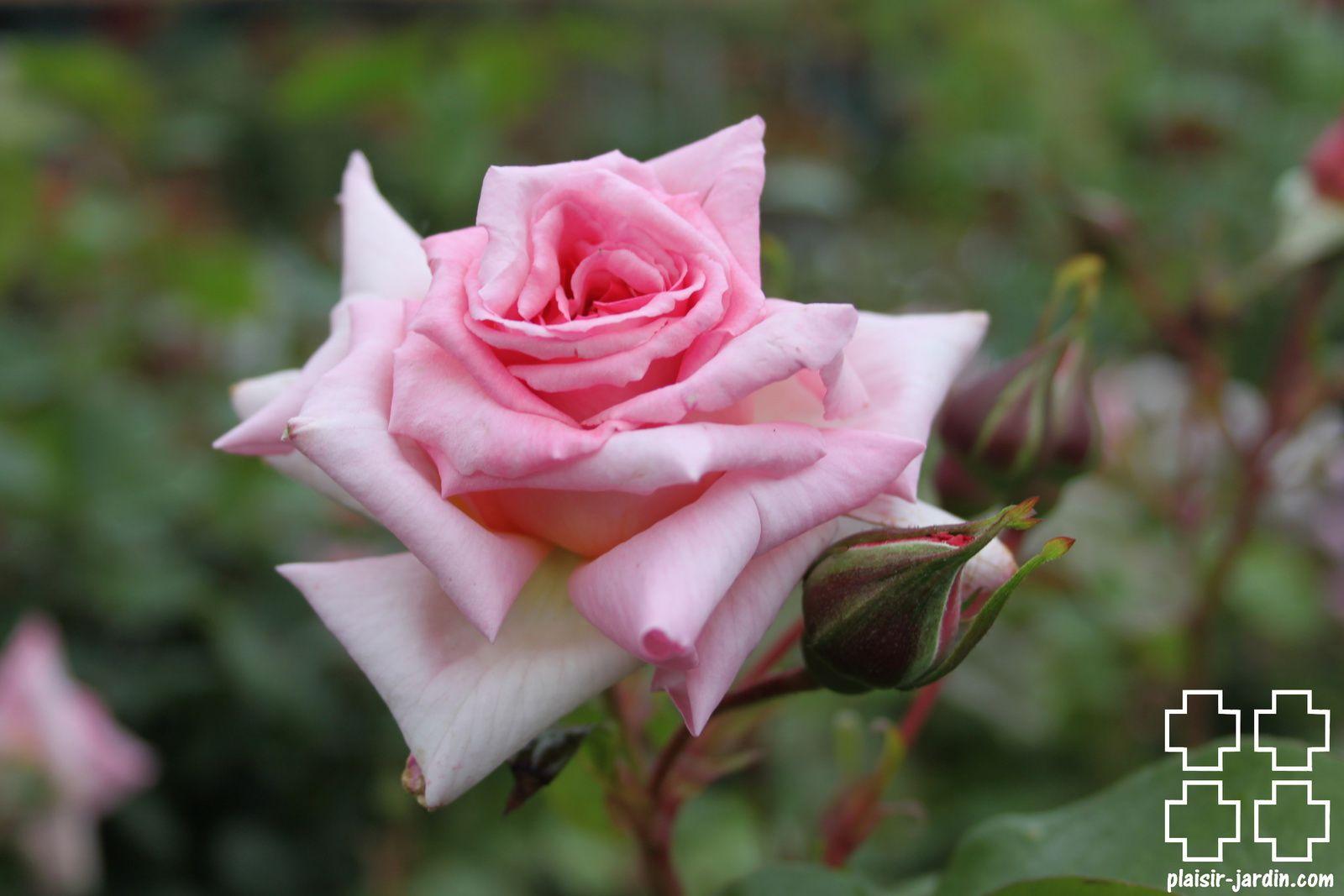 Les rosiers en B. de Be à Bi.