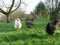4 poules...4 oeufs