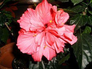 Les fleurs de mon patio ...