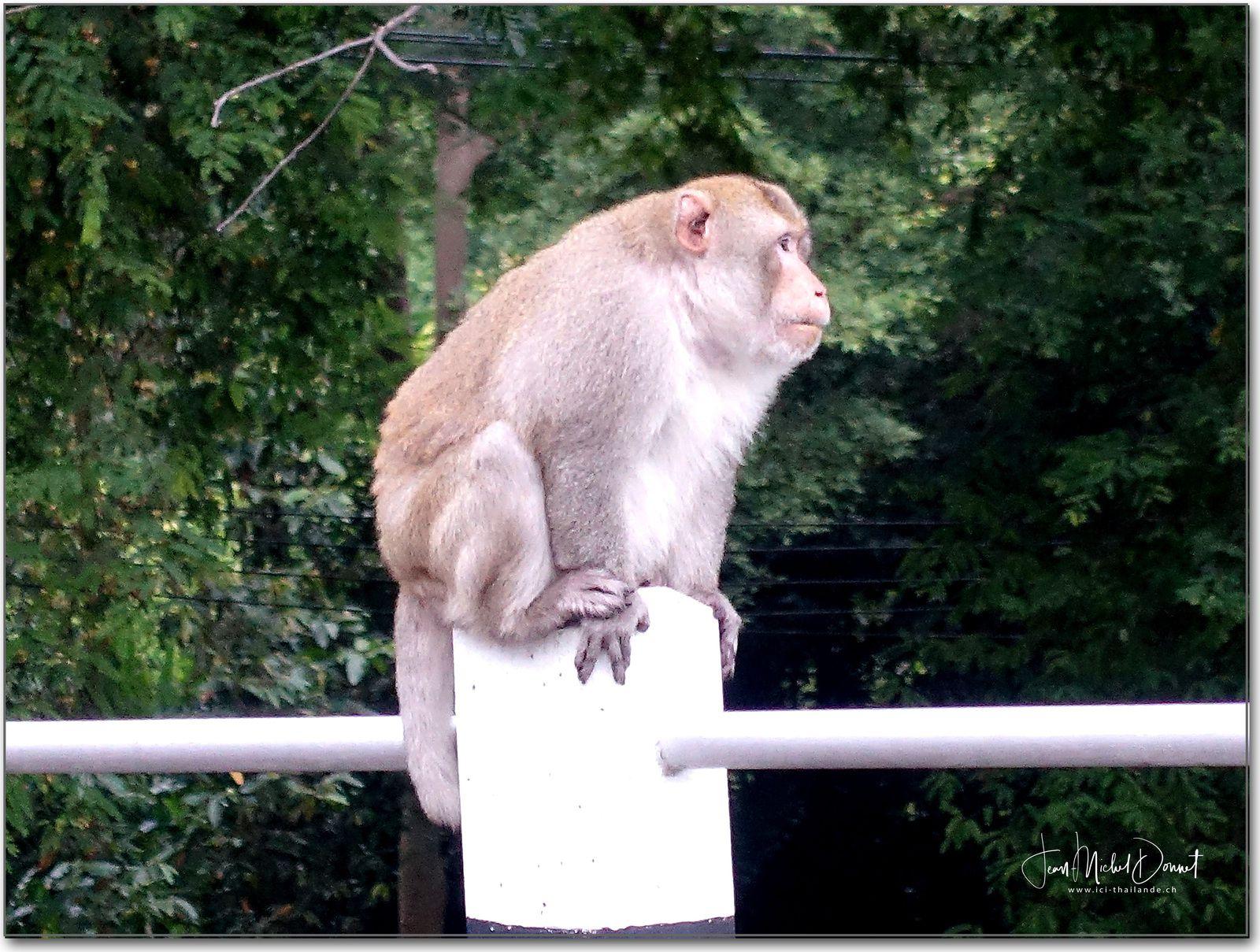 Tarzan fidèle au poste (Thaïlande)