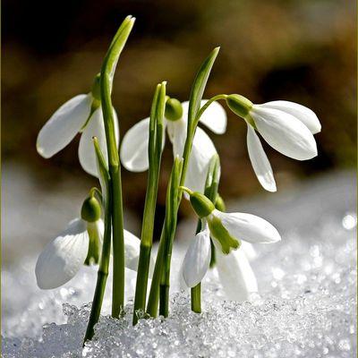 Mythologie des fleurs - le perce-neige